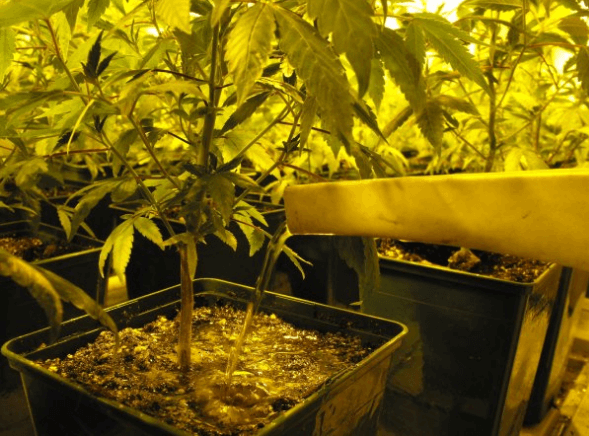 10 tips for cannabis grow - water cannabis