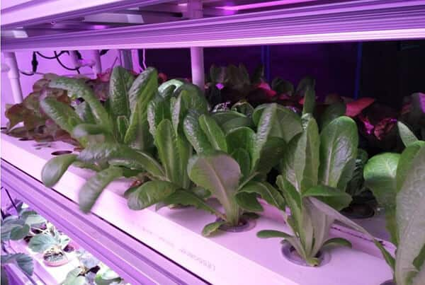 Effects of LED Lights with Different Light Quality on Plant Growth Quality-1