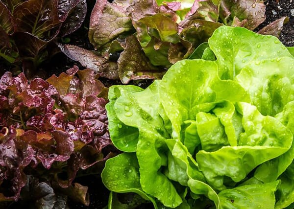 How to grow lettuce indoor all year around-1