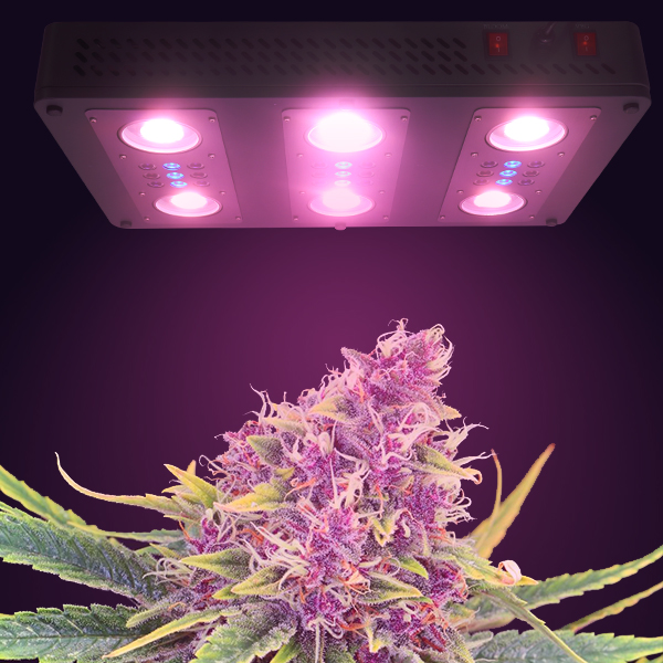 LED plant growth light application in cannabis cultivation