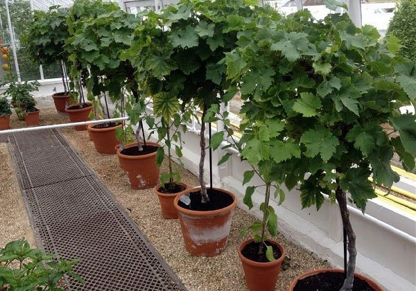 Grow Grapes Indoors