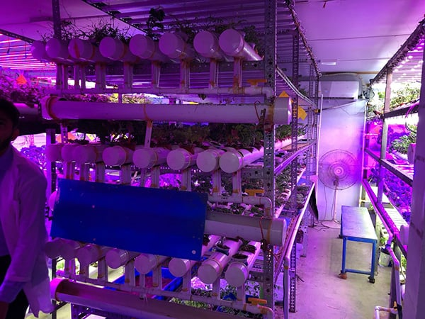 leafy greens hydroponic Saudi in Arabia vertical farming