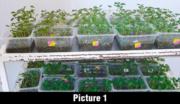 south africa tissue culture sedding image 2