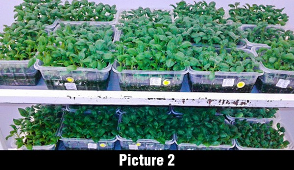 south africa tissue culture sedding image 4